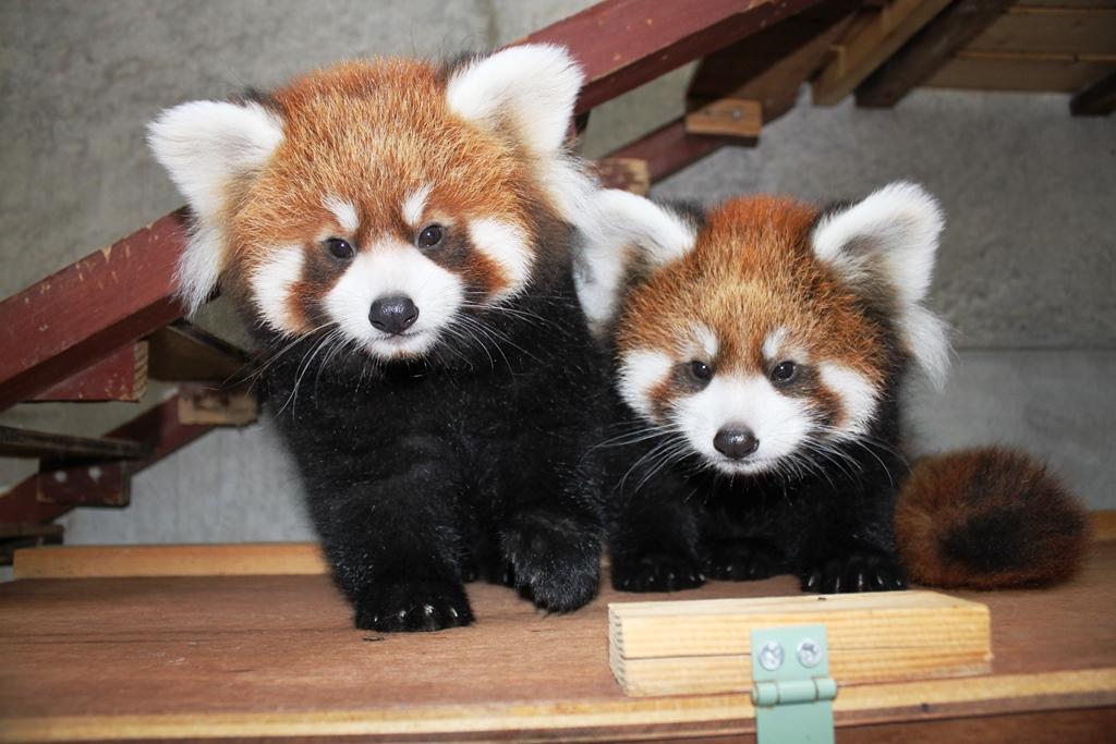可愛いレッサーパンダに成長した双子 (左側が「みたらし」)2013年9